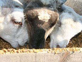 Hayrack Sheep